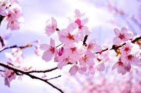 hoa anh đào 1
