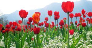 hoa-tulip-650
