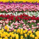 hoa tuy líp